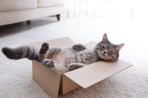 cat, cat in a box, grey cat